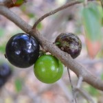 My Jaboticaba is fruiting for the first time in the garden