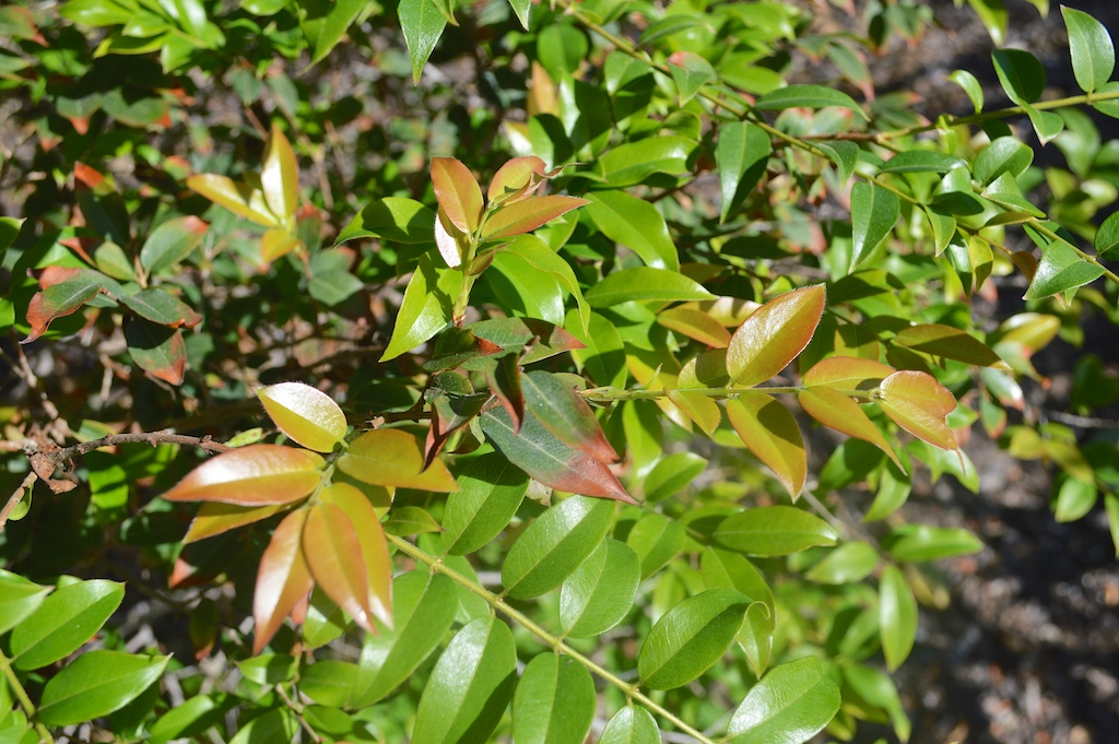 Jaboticaba New Leaves