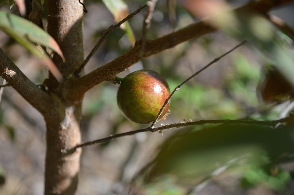 Jaboticaba Ripening Fruit