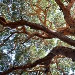 Htanaung Tree (Acacia leucophloea) of Myanmar