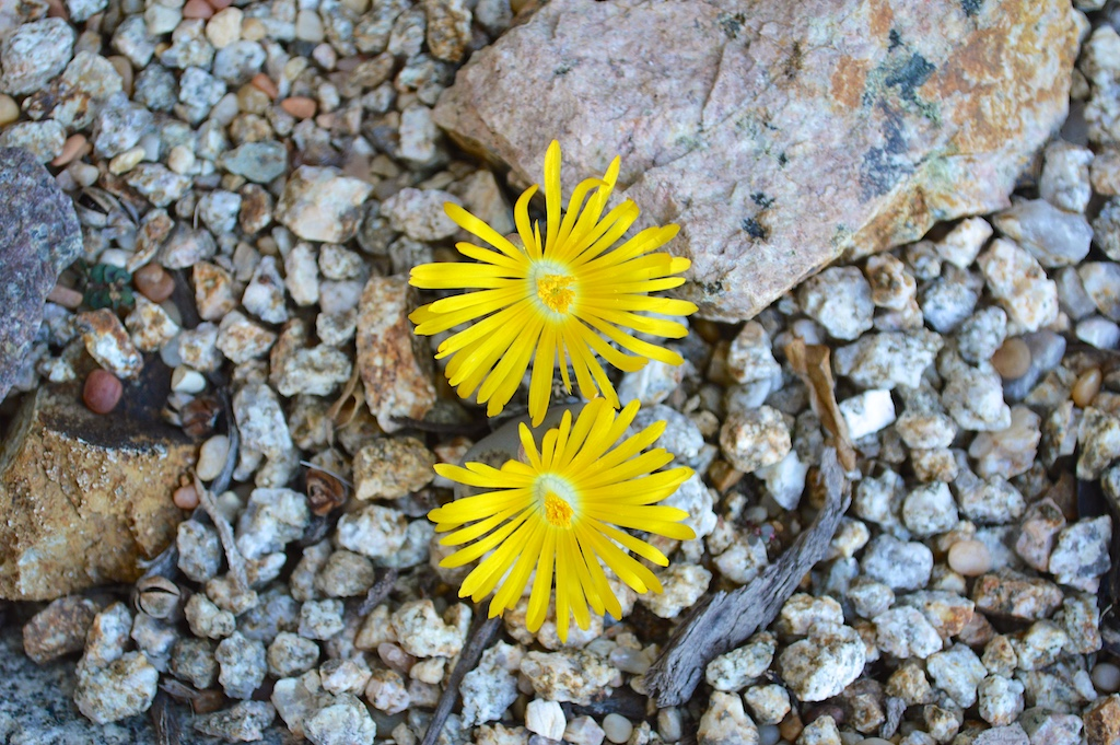 Yellow Flowering Lithops
