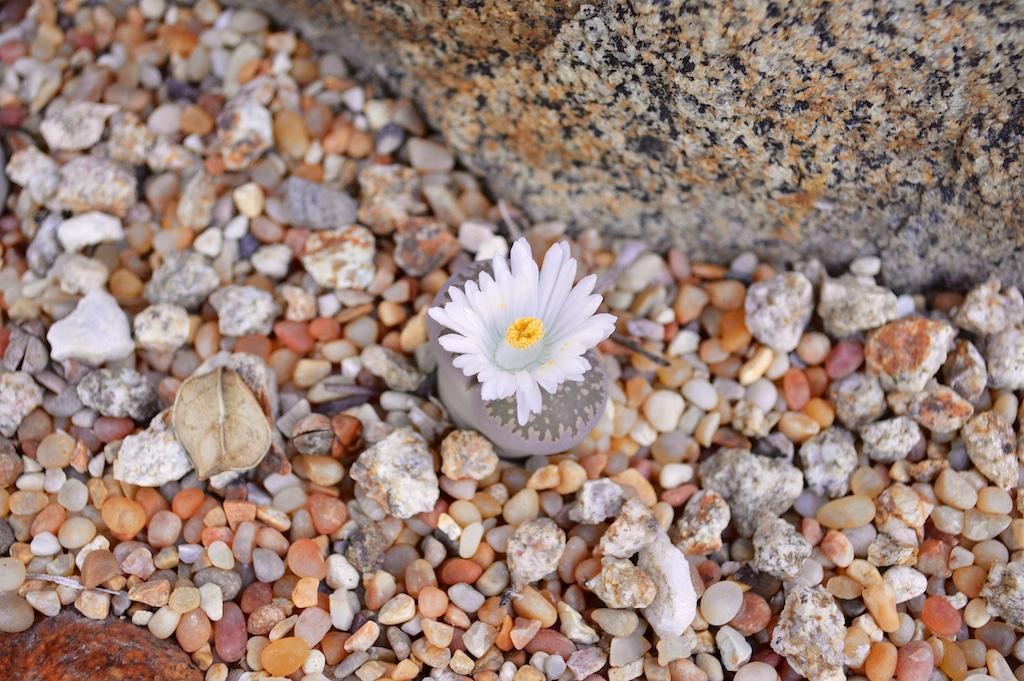 White Flowering Lithrops