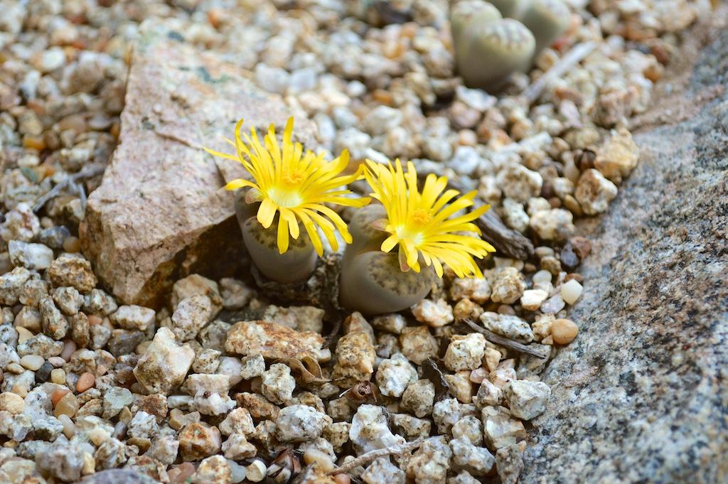 Yellow Flowering Lithrops