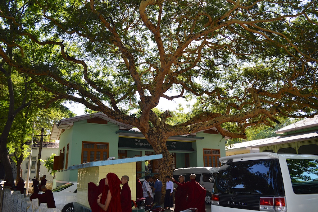 Htanaung Tree at Mahar Gandar Yone Monastery