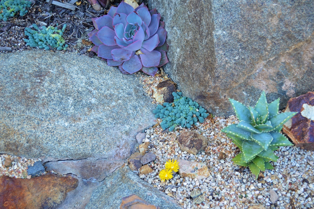 "Yellow Flowering Lithops and Aloe ""Hellskloof-Bells"""