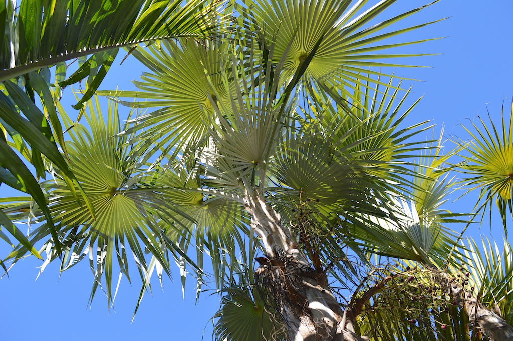 Dennis Willoughby's Looking Up at a Coccothrinax