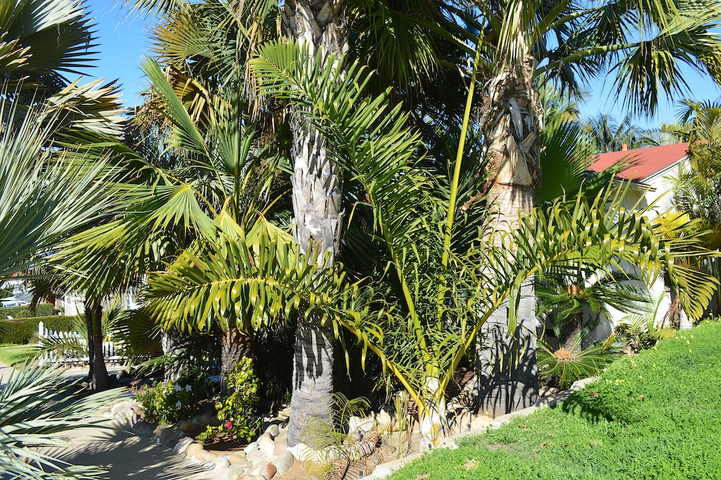 Dennis Willoughby's Dypsis prestoniana