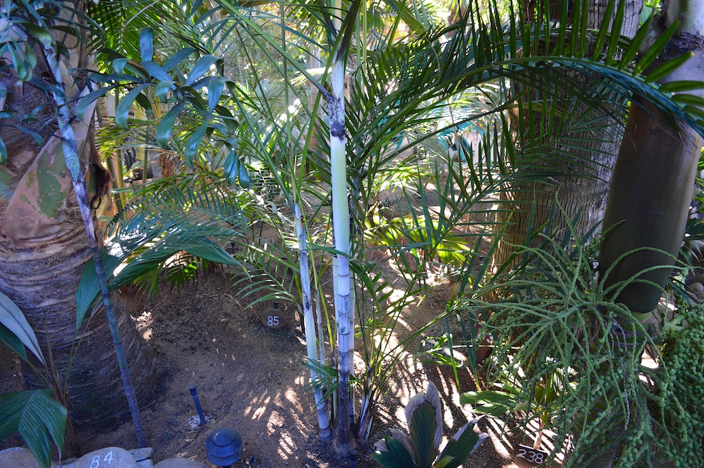 Dennis Willoughby's Dypsis psammophila