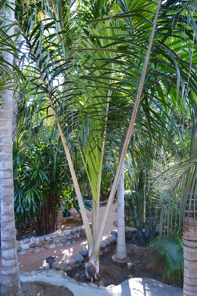 """Dennis Willoughby's Dypsis sp. """"Honkona"""""""