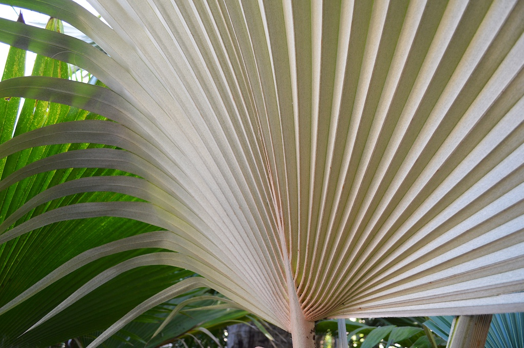 Dennis Willoughby's Pritchardia hardyi