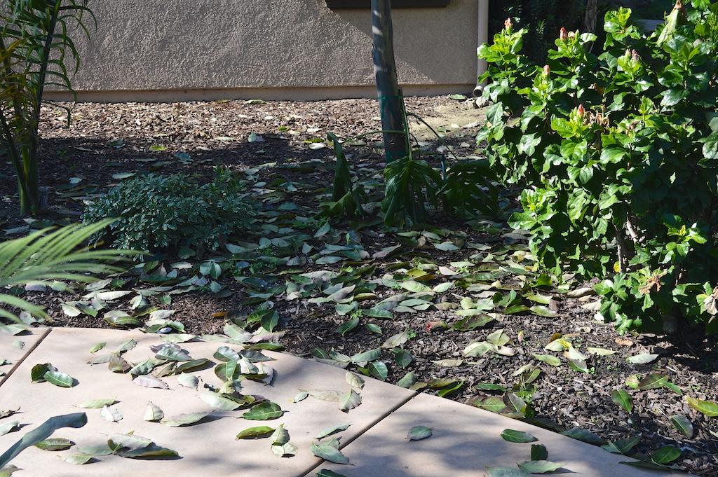 Eucalyptus deglupta Leaf Litter