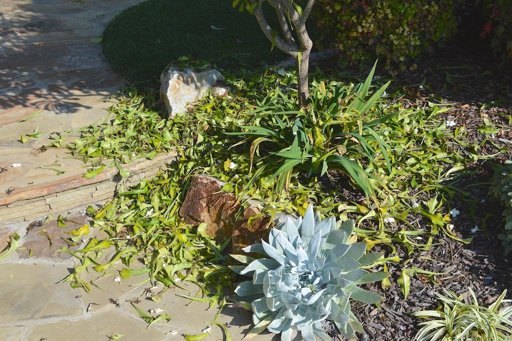 Plumeria pudica Leaf Litter