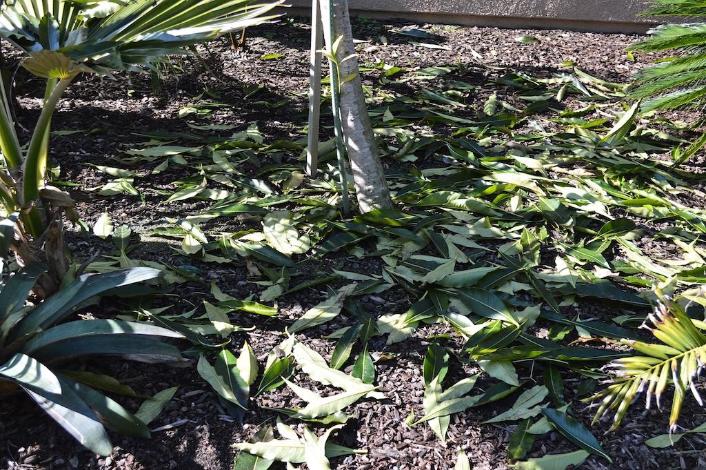 Rauvolfia javanica Leaf Litter
