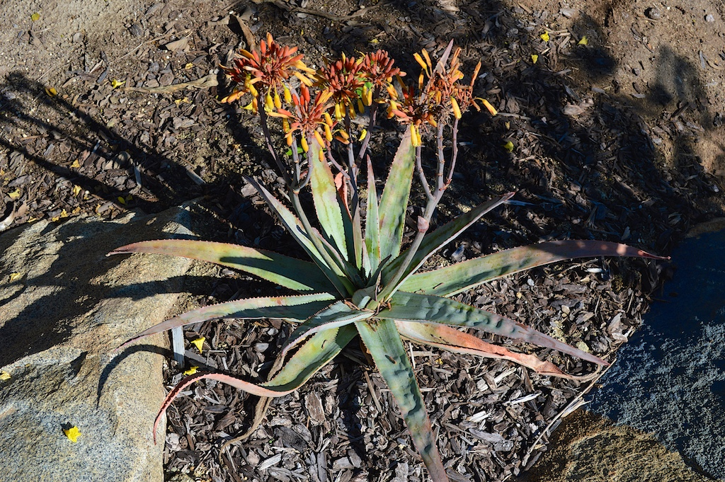 Aloe andringitrensis in Flower