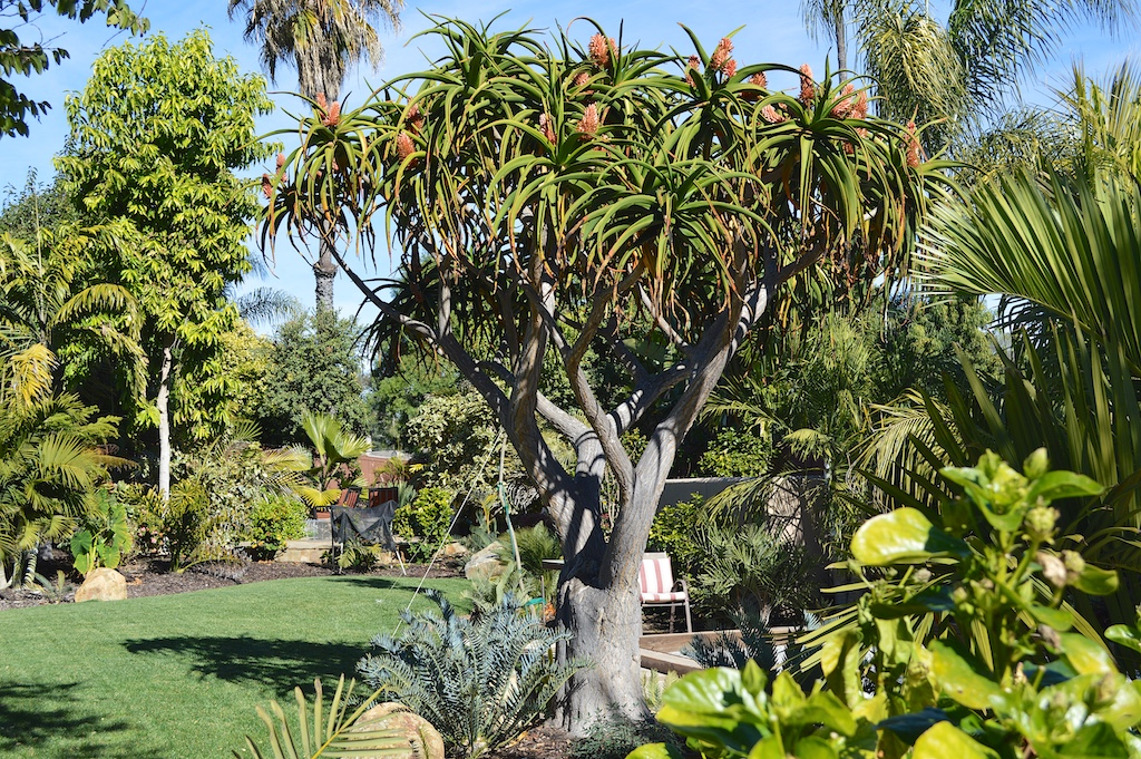 Aloe bainesii Tree