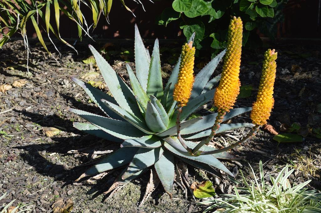 Aloe betsileensis in Flower