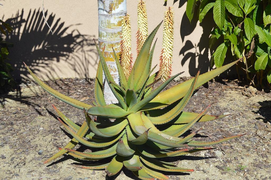 Aloe ferox 'white flowers'