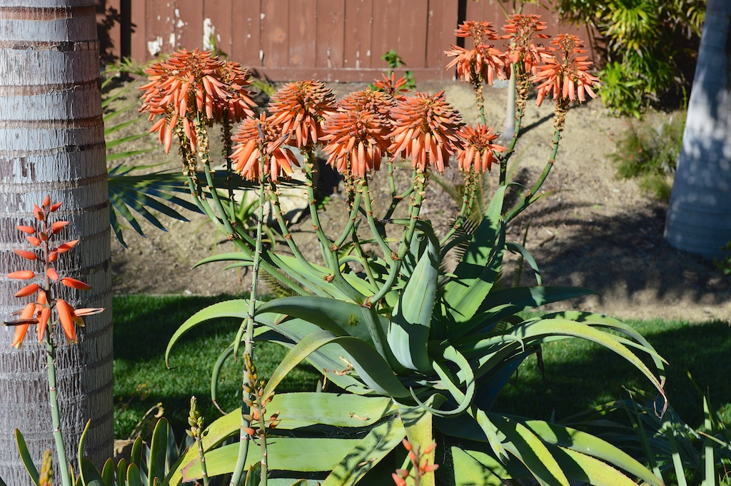 Aloe munchii Flowering