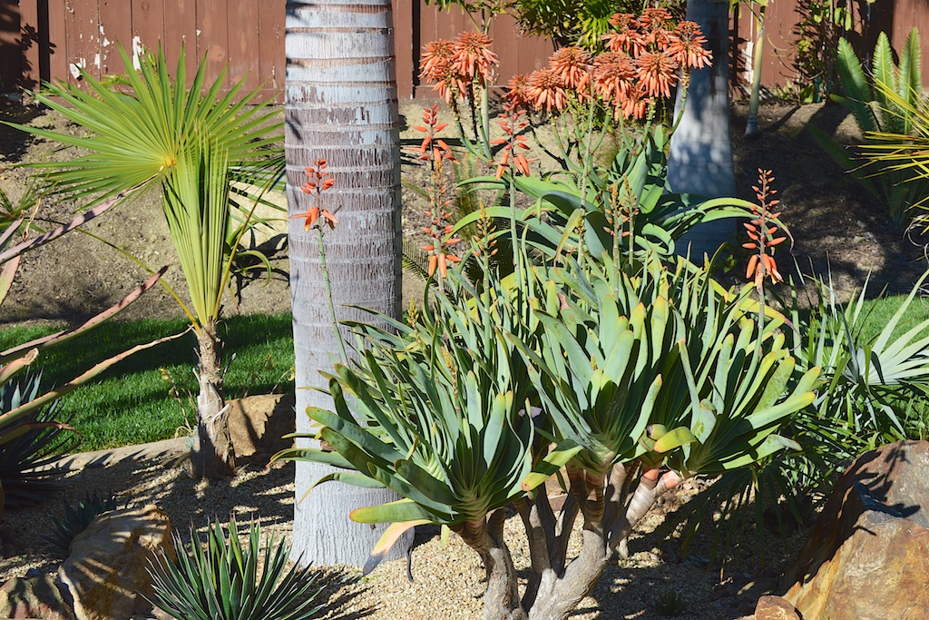 Aloe munchii and plicatilis Flowering
