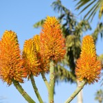 Winter means aloes in bloom