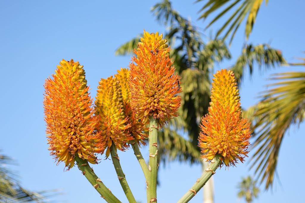 Aloe thraskii Flower
