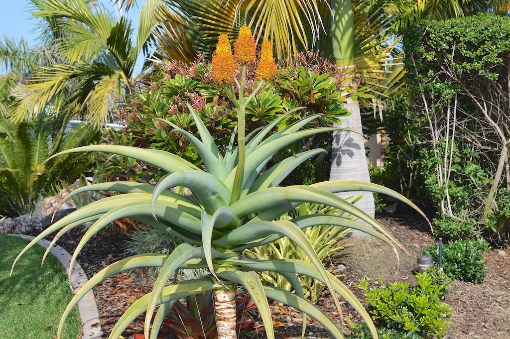 Aloe thraskii Flowering