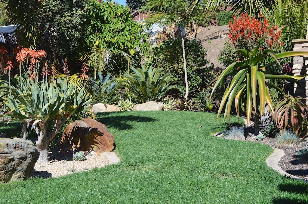 Aloe vaombe Flowering in Garden