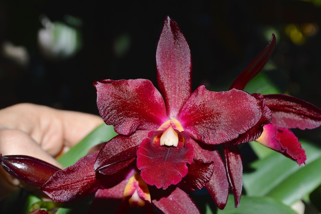 Cattleya Chocolate Drop Flower