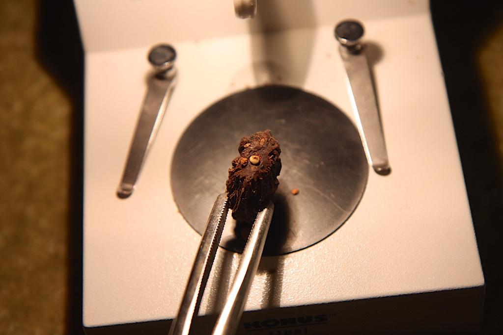 Clinosperma macrocarpa Embryo Germinating