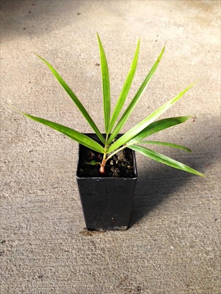 Clinosperma macrocarpa Seedling 6 Months