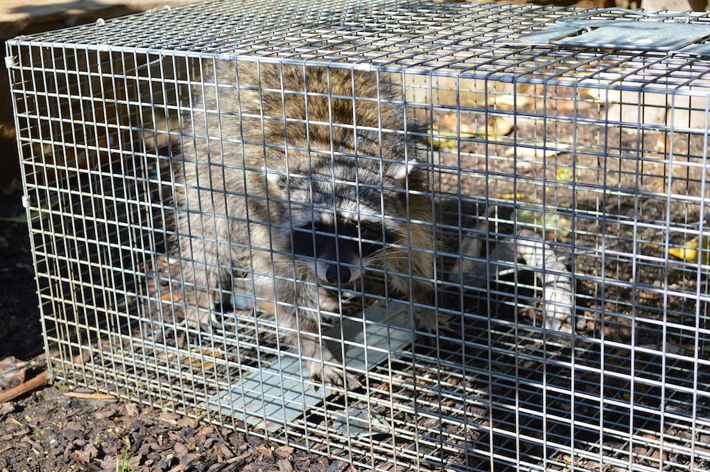 Raccoon in Safeguard Trap
