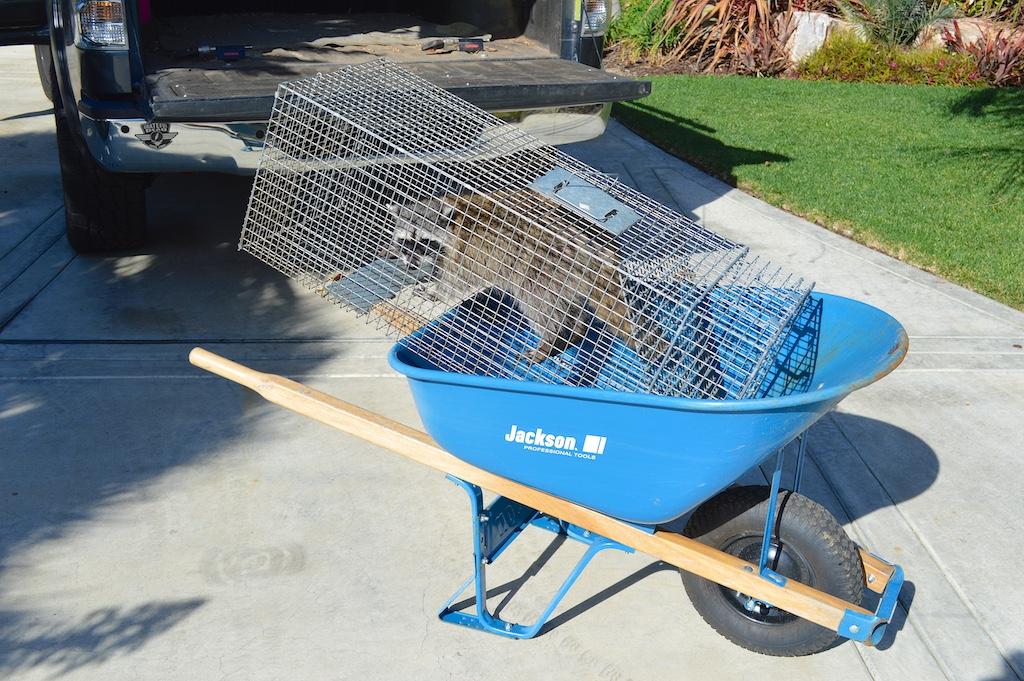Raccoon Wheelbarrow Ride