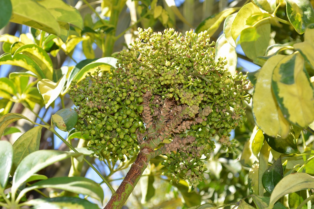 """Schefflera arboricola """"Variegata"""" Flower"""