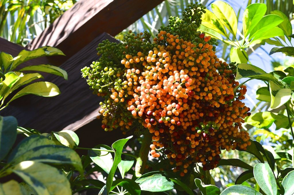 "Schefflera arboricola ""Variegata"" Fruit"