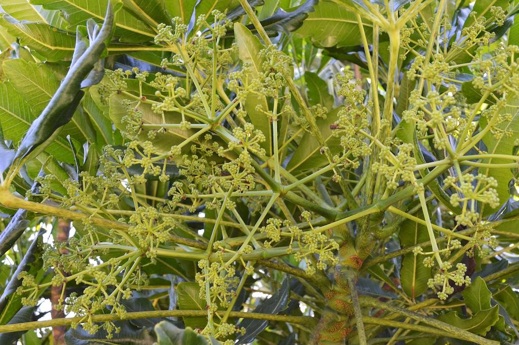 Schefflera elegantissima in Flower