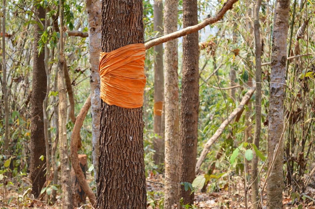 Dipterocarpus alatus with Buddhist Monk marking