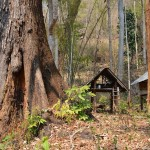 Yaang Naa Tree (Dipterocarpus alatus) of Thailand