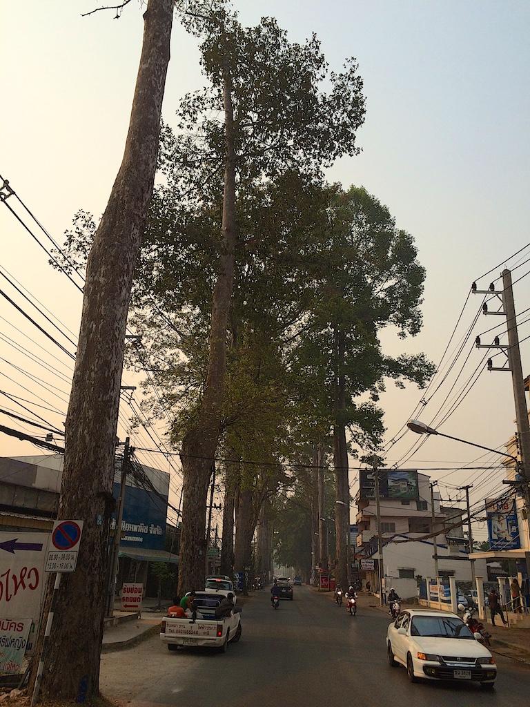 Dipterocarpus alatus Road in Chiang Mai