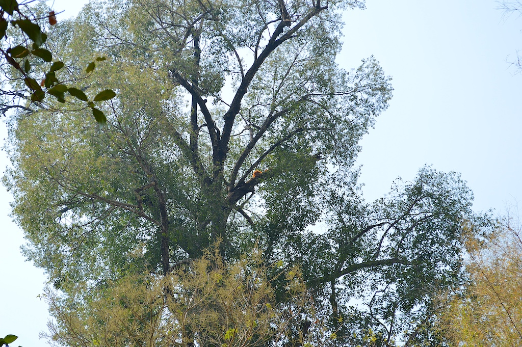 Dipterocarpus alatus (Yaang Naa Tree)
