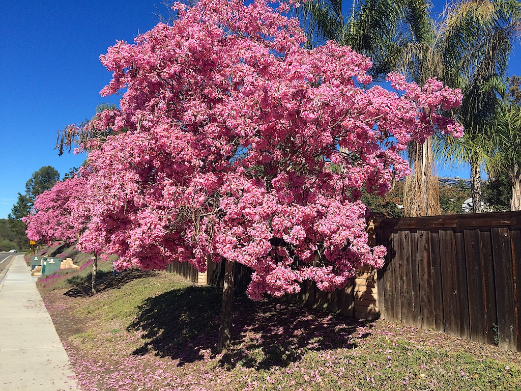 Handroanthus impetiginosus Flowering