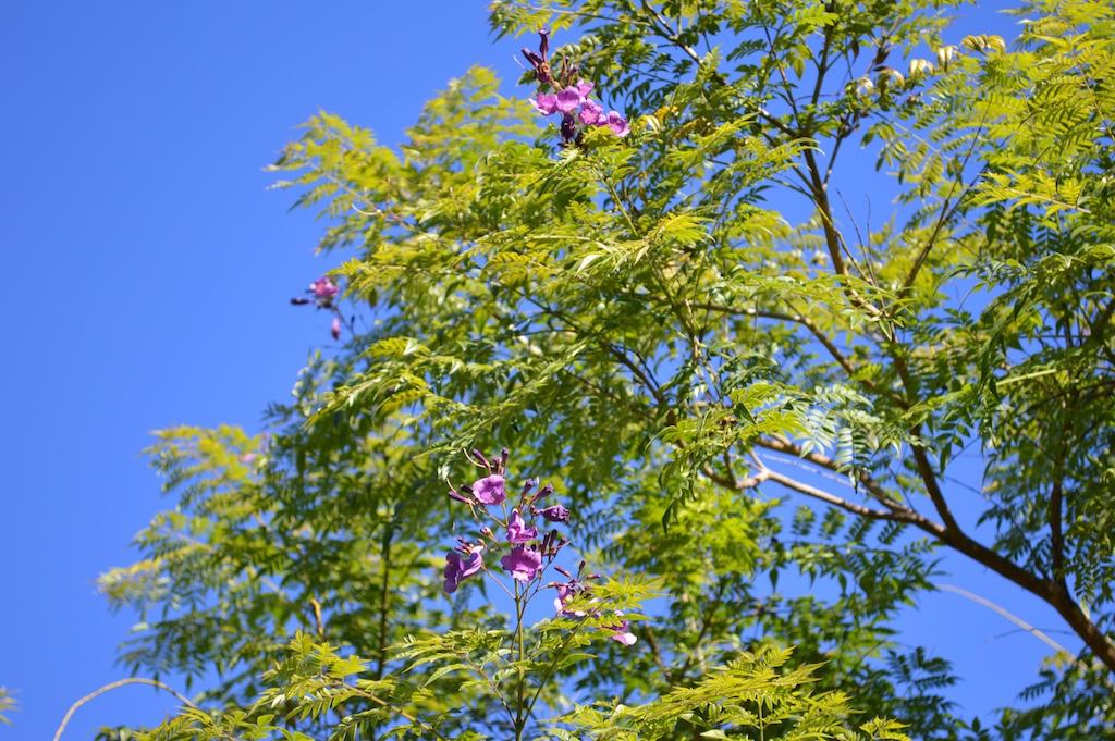 Jacaranda jasminoides