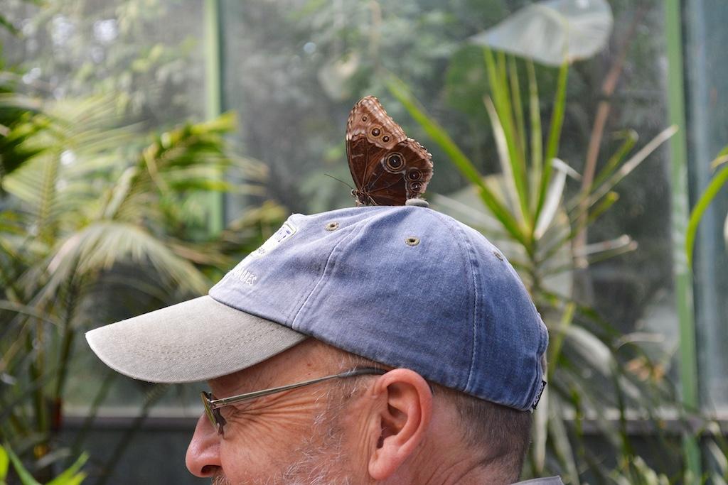 Common Blue Morpho on Hat