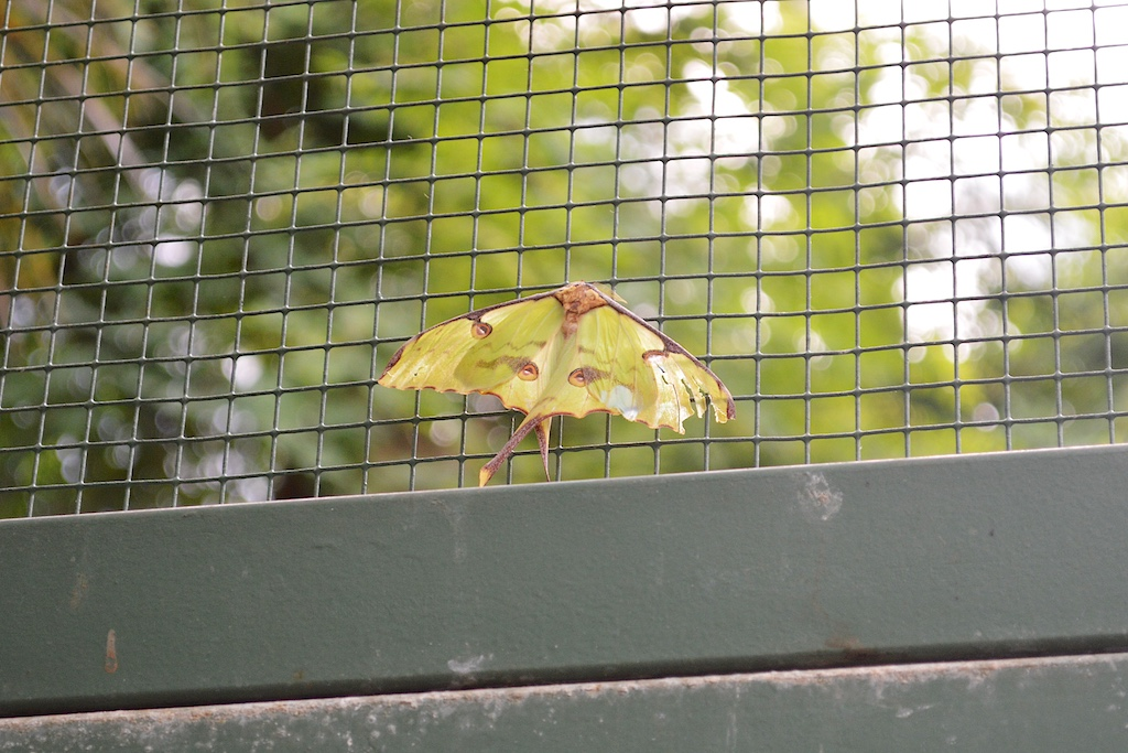 Luna Moth (Argema sp.)