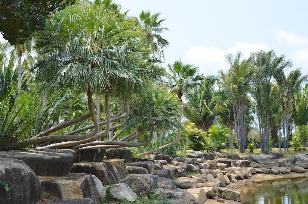 Nong Nooch Tropical Botanical Garden Bent Trunk Copernicia