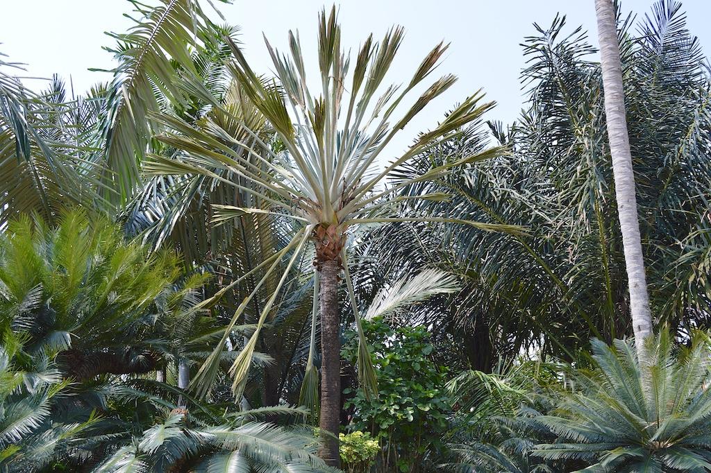 Nong Nooch Tropical Botanical Garden Bismarckia nobilis