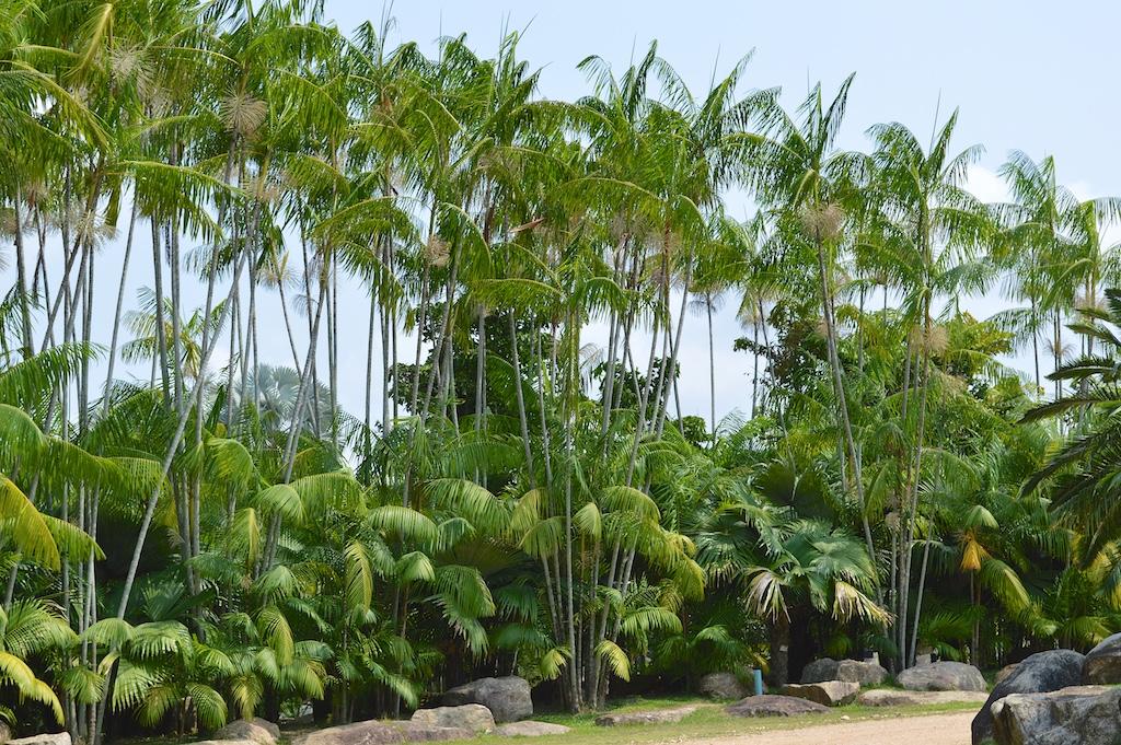 Nong Nooch Tropical Botanical Garden Euterpe oleracea