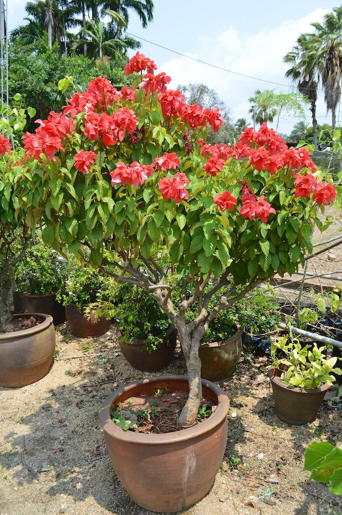 Nong Nooch Tropical Botanical Garden Mussaenda erythrophylla