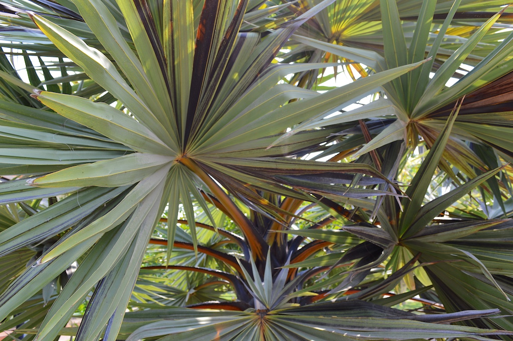 Nong Nooch Tropical Botanical Garden Variegated Borassus