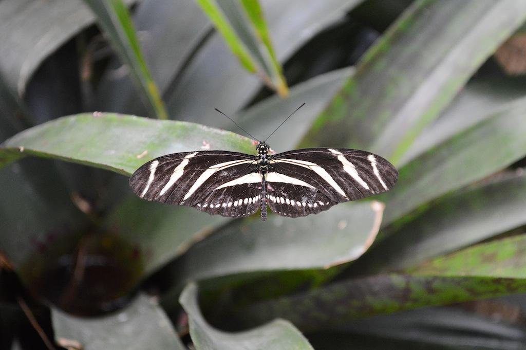 Zebra Long Wing(Heliconius charithonia)