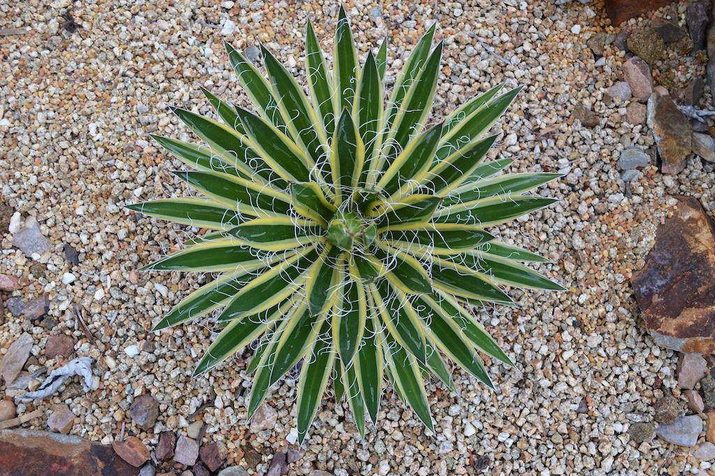 Agave filifera ssp. schidigera 'Shira ito no Ohi'